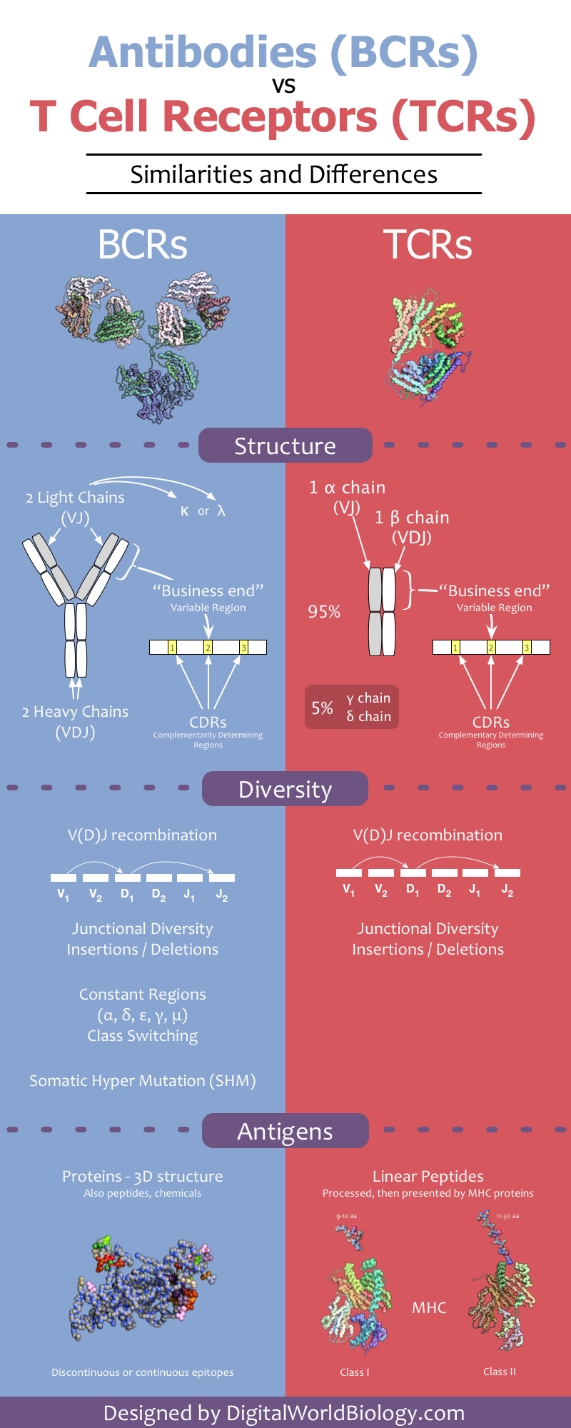Infographic: BCRs vs TCRs