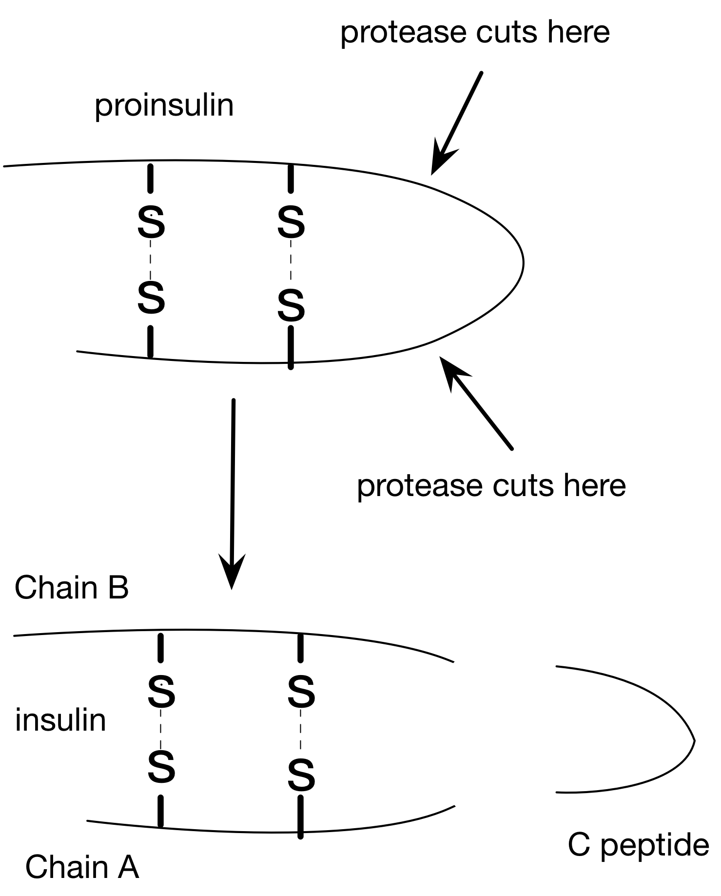 Insulin processing2