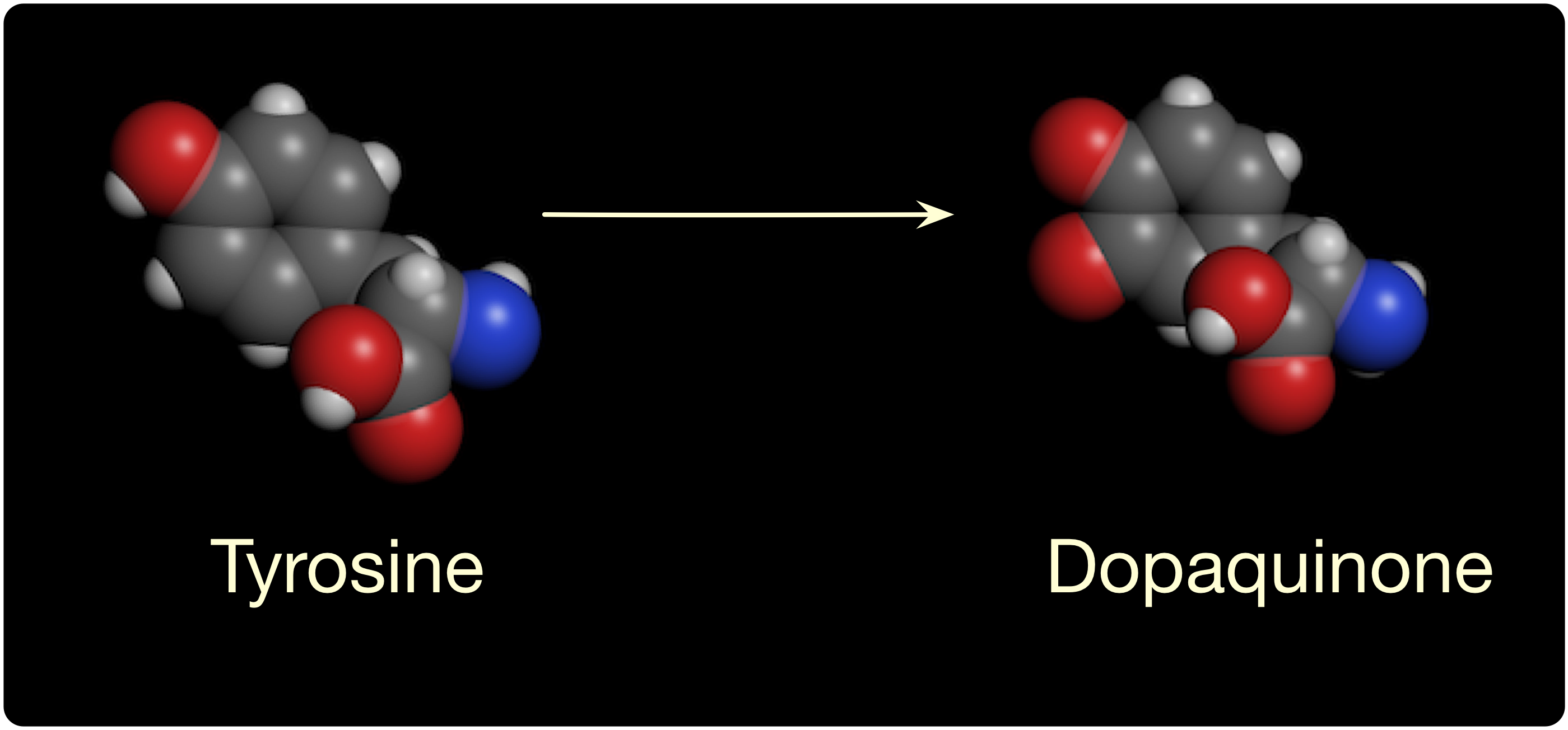 Tyrosine and dopaquinone