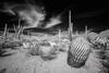 Infrared Cacti