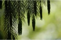 i-c3f3d9305d7e6682c961cd6ae0733eed-pine.jpg