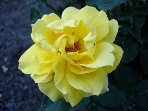 i-e46b5544cd67f35d5d7d6301be1637c0-yellow_rose.jpg